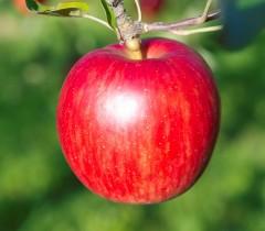 りんご単品